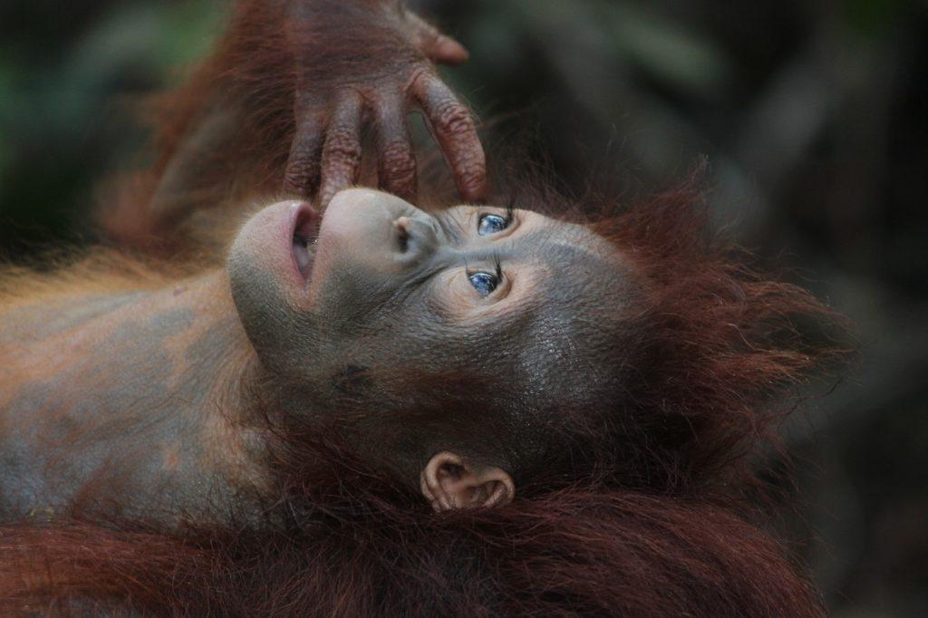 Orang Utan aussterben durch Palmöl