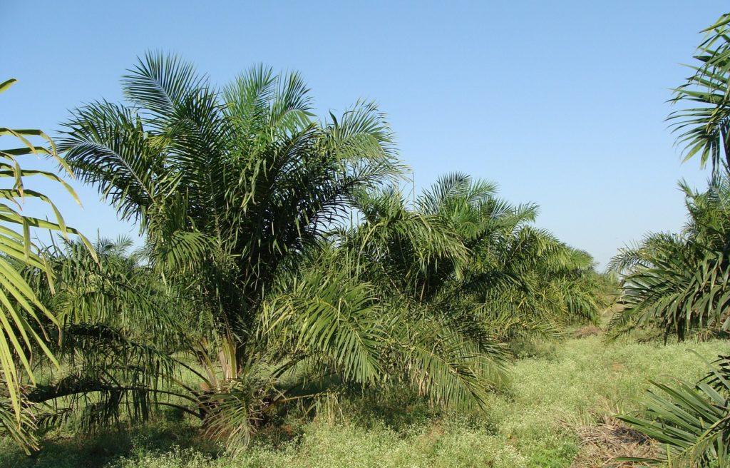 Ölpalme: Plantage für Palmöl