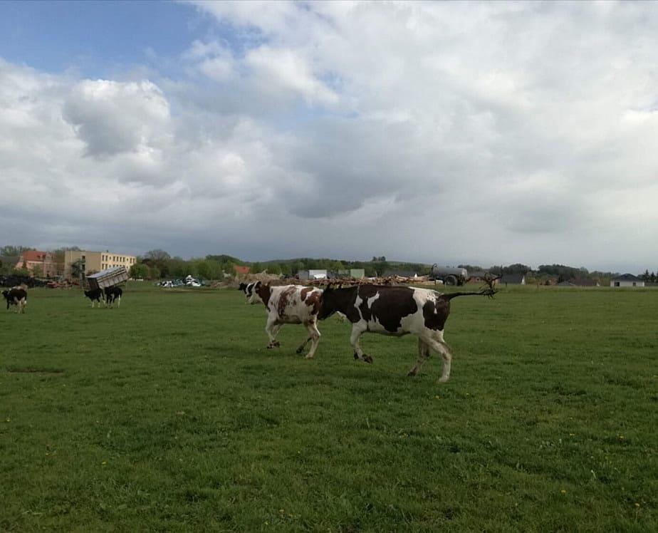 Bauer steigt aus: Kühe auf Weidegang in Grosshartau